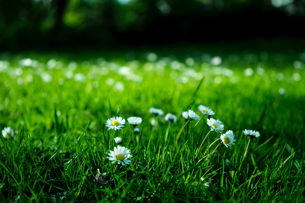 blooming blossom green grass